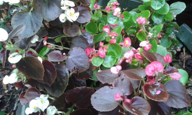 Begonias Doing Very Well, Winter December 2014