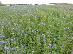 Green Manure on a Farm (May be Phacelia tanacetifolia )
