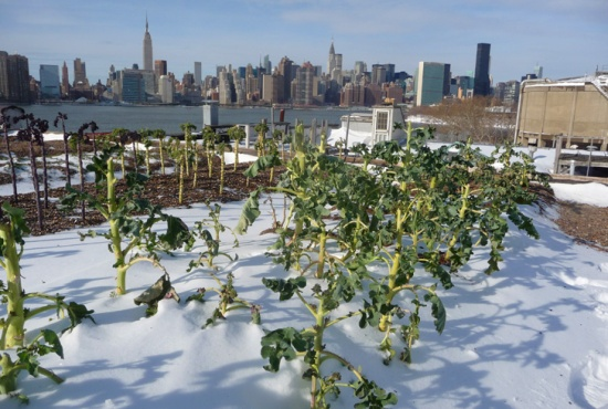 rooftop farm New York